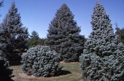 Abies concolor 'Compacta' (compact white fir) and Abies concolor 'Candicans' (Candicans white fir), habit