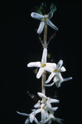Abeliophyllum distichum Nakai (white-forsythia), flowers