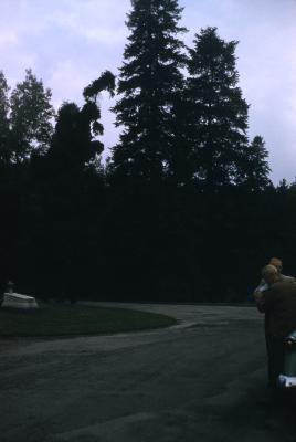 Abies alba Mill. (silver fir) and Abies alba pendula (European weeping silver fir), habit
