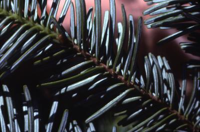 Abies amabilis (Dougl.) Forbes (Pacific silver fir), needles
