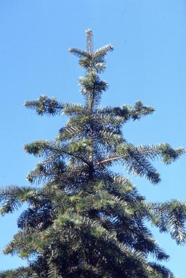 Abies bracteata D. Don (Santa Lucia fir), crown habit