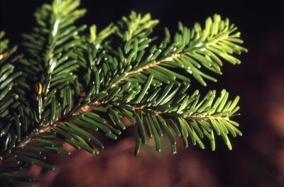 Abies amabilis (Dougl.) Forbes (Pacific silver fir), branch tip, needles