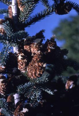 Abies balsamea (L.) Mill. (balsam fir), cones