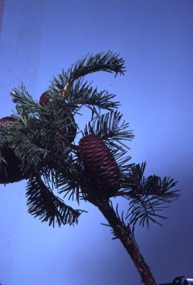 Abies grandis (Dougl. ex D. Don) Lindl. (grand fir), branches, needles, pine cones