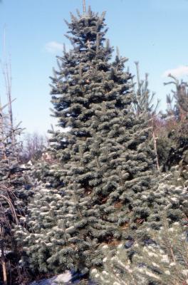 "Abies lasiocarpa 'Day Creek"" (Day Creek alpine fir), habit"