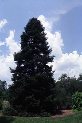 Abies nordmanniana (Stev.) Spach (Nordmann's fir), habit