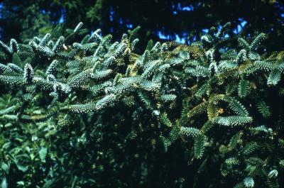 Abies pinsapo Boiss. (Spanish fir), foliage