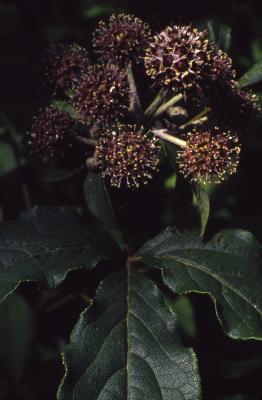 Acanthopanax sessiliflorus, flowers