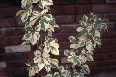 Acanthopanax sieboldianus 'Variegatus', form, branch