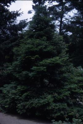 Abies grandis (Dougl. ex D. Don) Lindl. (grand fir), habit