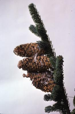 Stage 1 of 7 of Seed Maturation: Abies fraser Poir. (Fraser's fir), tip of branch with reproductive cones
