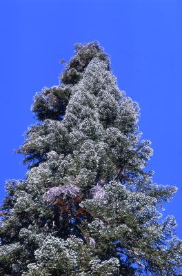 Abies magnifica A. Murray (California red fir), crown habit