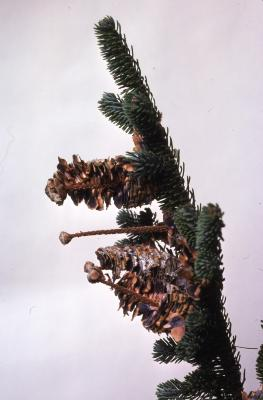 Stage 6 of 7 of Seed Maturation: Abies fraseri Poir. (Fraser's fir), pine cone seed maturation