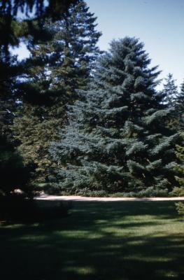 Abies pinsapo Boiss. (Spanish fir), habit