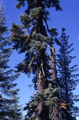 Abies magnifica A. Murray (California red fir) [left ] and Pinus monticola (western white pine) [right], habit