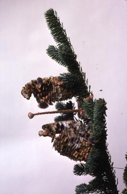Stage 6 of 7 of Seed Maturation: Abies fraseri Poir. (Fraser's fir), pine cone seed development