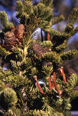 Abies lasiocarpa (Hook.) Nutt. (subalpine fir), branch with cones and spikes