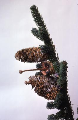 Stage 4 of 7 of Seed Maturation: Abies fraseri Poir. (Fraser's fir), pine cone seed development