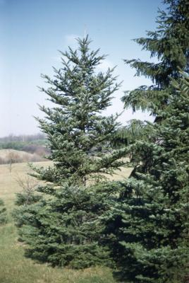 Abies homolepis Sieb. & Zucc. (Nikko fir), habit