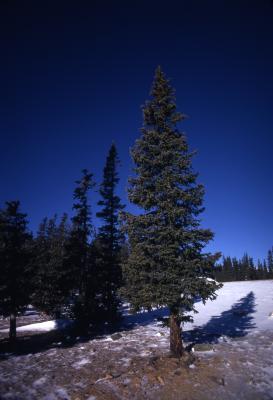 Abies lasiocarpa (Hook.) Nutt. (subalpine fir), habit