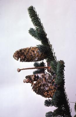Stage 5 of 7 of Seed Maturation: Abies fraseri Poir. (Fraser's fir), maturation of pine cone seed