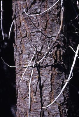Abies magnifica A. Murray (California red fir), trunk