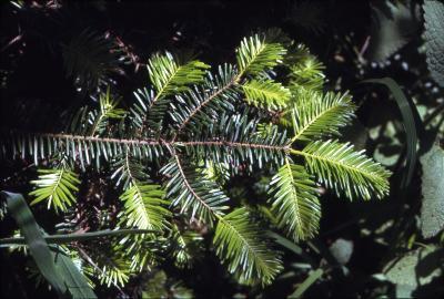 Abies grandis (Dougl. ex D. Don) Lindl. (grand fir), branchlet