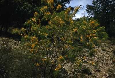 Acacia constricta (whitethorn acacia), habit