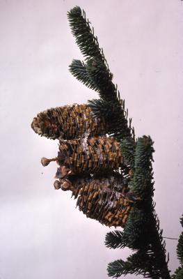 Stage 2 of 7 of Seed Maturation: Abies fraseri Poir. (Fraser's fir)