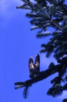 Abies nordmanniana (Stev.) Spach (Nordmann's fir), cones and foliage
