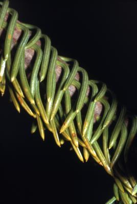 Abies nordmanniana (Stev.) Spach (Nordmann's fir), needles