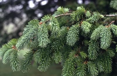 Abies grandis (Dougl. ex D. Don) Lindl. (grand fir), branch habit