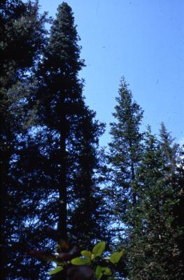 Abies sibirica Ledeb. (Siberian fir), habit