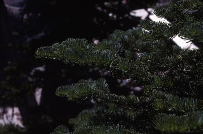Abies lasiocarpa (Hook.) Nutt. (subalpine fir), branch
