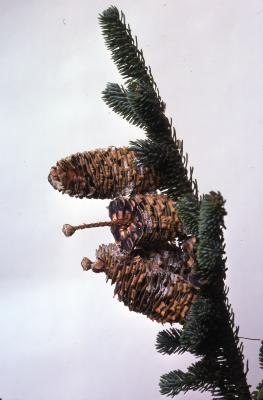 Stage 3 of 7 of Seed Maturation: Abies fraseri Poir. (Fraser's fir), seed development