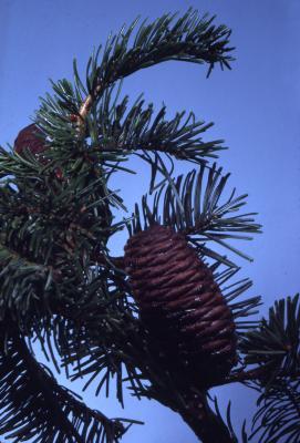 Abies grandis (Dougl. ex D. Don) Lindl. (grand fir), cones