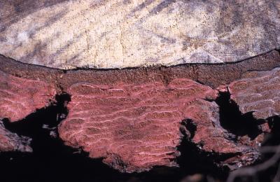Abies magnifica A. Murray (California red fir), bark