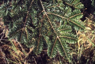 Abies grandis (Dougl. ex D. Don) Lindl. (grand fir), branch