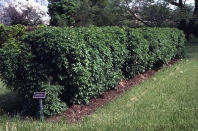 Acanthopanax sieboldianus, hedge form
