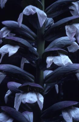 Acanthus mollis (bear's breeches), flower spike