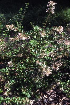 Abelia chinensis R. Br. (Chinese abelia), habit