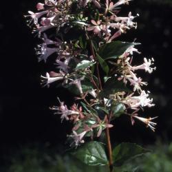 Abelia chinensis R. Br. (Chinese abelia), flowers, branch
