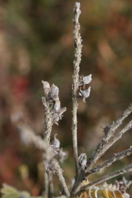 Amorpha canescens (Leadplant), fruit, mature