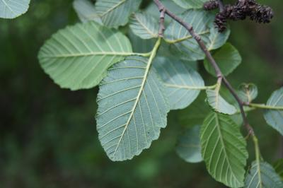 Alnus incana subsp. rugosa (Speckled Alder), leaf, lower surface