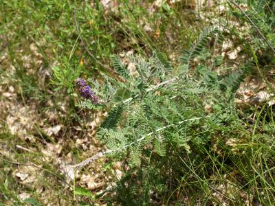 Amorpha canescens (Leadplant), habit, summer