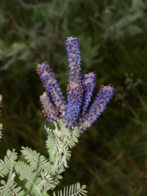 Amorpha canescens (Leadplant), inflorescence, flower, full