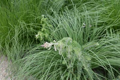 Amorpha canescens (Leadplant), habit, spring