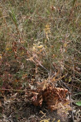 Amorpha canescens (Leadplant), habit, fall