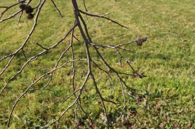 Alnus sibirica (Siberian Alder), bark, twig