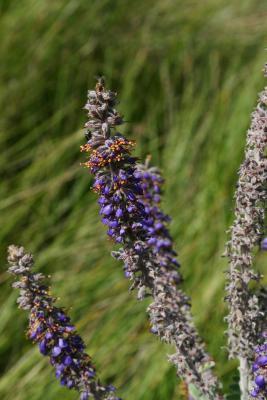 Amorpha canescens (Leadplant), flower, full